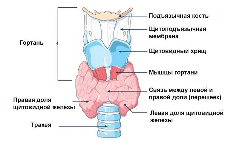 Строение щитовидной железы человека