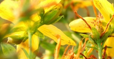 Трава репешок - польза и вред