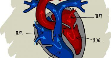 Сердце человека: анатомия