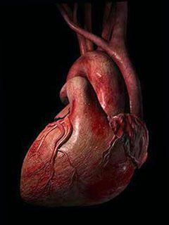 Работа и строение сердца человека кратко