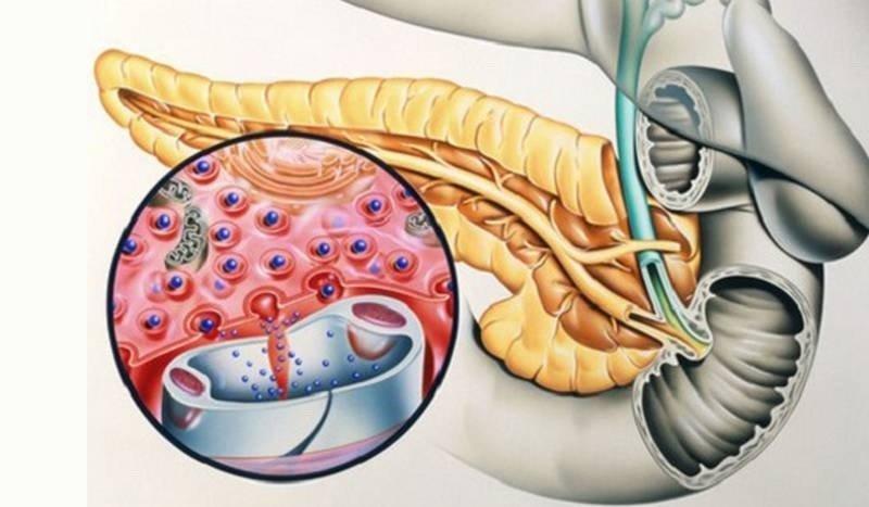 Поджелудочная железа - анатомия и функции